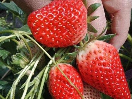 法兰地草莓苗价格