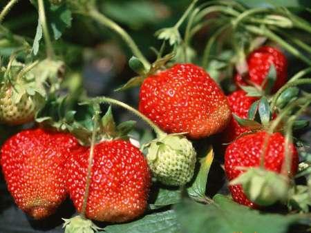 圣诞红草莓苗销售