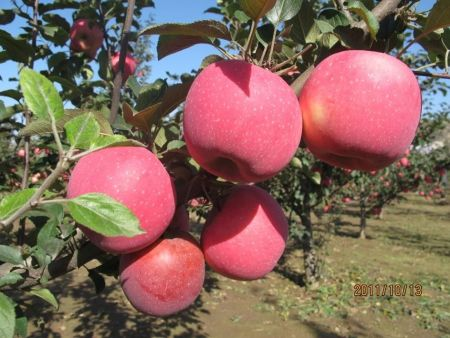 泰安苹果苗