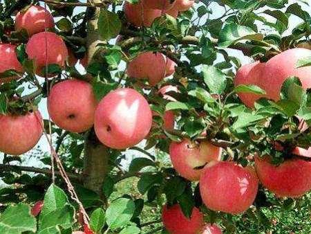 红嘎啦苹果苗