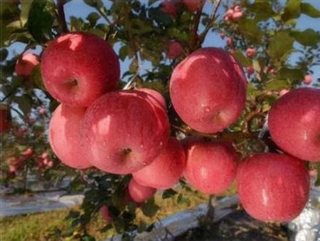 西安苹果价格