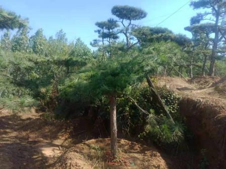 景观松培育工作一定要在平日落实到位