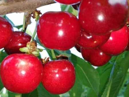 樱桃苗新品种