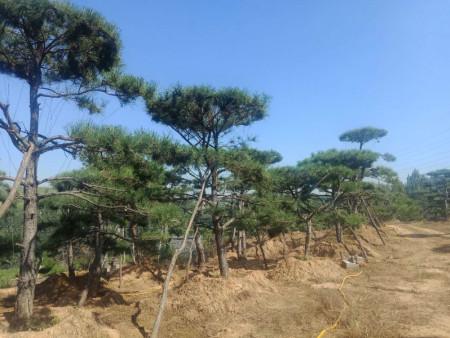 造型黑松要有适宜的生长环境,也可以被精心制作成盆景