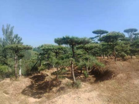 造型黑松基地防止树木烂根的方法