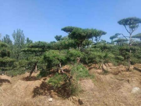 泰山景松的修剪和疏枝