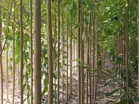 出售3公分杜仲树苗100万棵