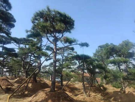 大型古松苗木移植处理的常见办法有什么