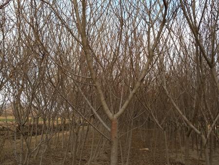 移栽灌木类苗木的修剪方法!