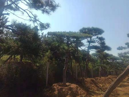 造型黑松栽种挖掘要点