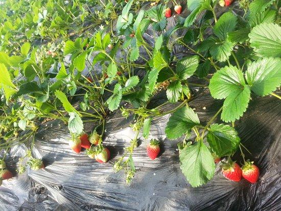 山东甘露草莓苗:草莓种苗品种的选用