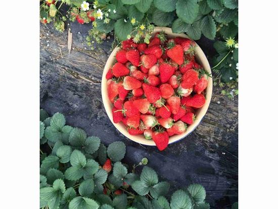 湖南红颜草莓苗为什么这么受欢迎?