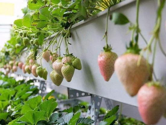 湖南白雪公主草莓苗种植的六大注意事项