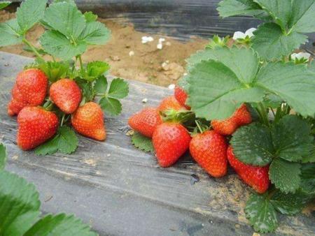 怎么保证繁殖种苗的湖南章姬草莓苗质量
