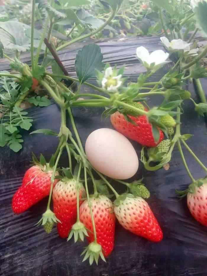 湖南章姬草莓苗的特征你知道吗?