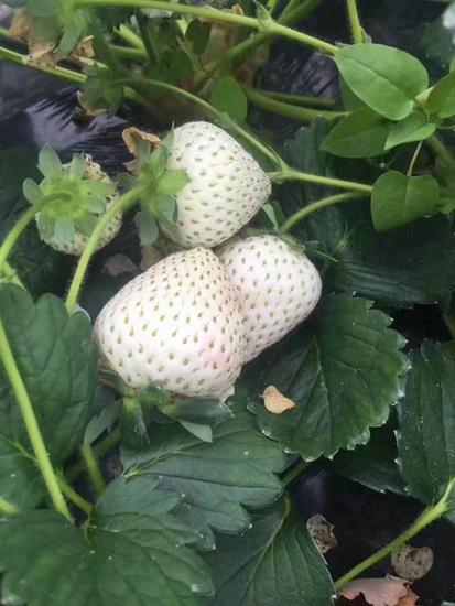 湖南白雪公主草莓苗一年结几次果附品种口感介绍