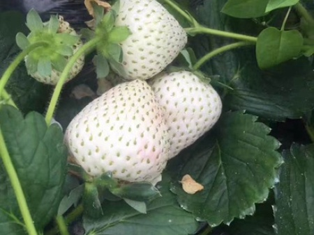 湖南白雪公主草莓苗的田间管理你知道多少?