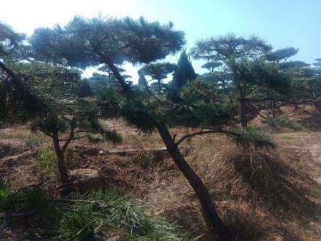景观松如何种植?有技巧!