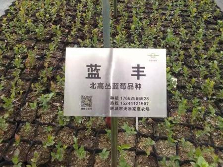 蓝丰蓝莓苗基地