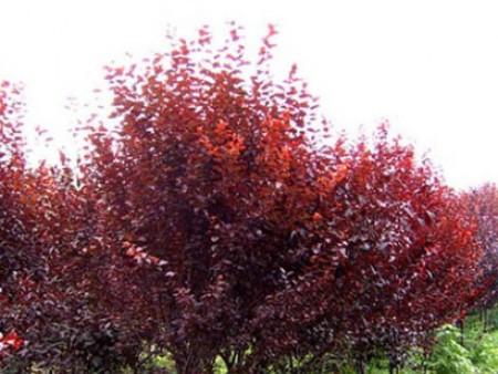 紫叶矮樱树