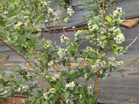 绿宝石蓝莓苗