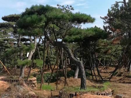 山东造型油松基地