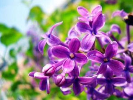 绿洲苗木合作社教您紫丁香的种植方法!