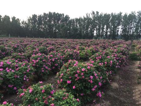四季玫瑰有什么价值?兰州苗木基地合作社给大家讲讲。