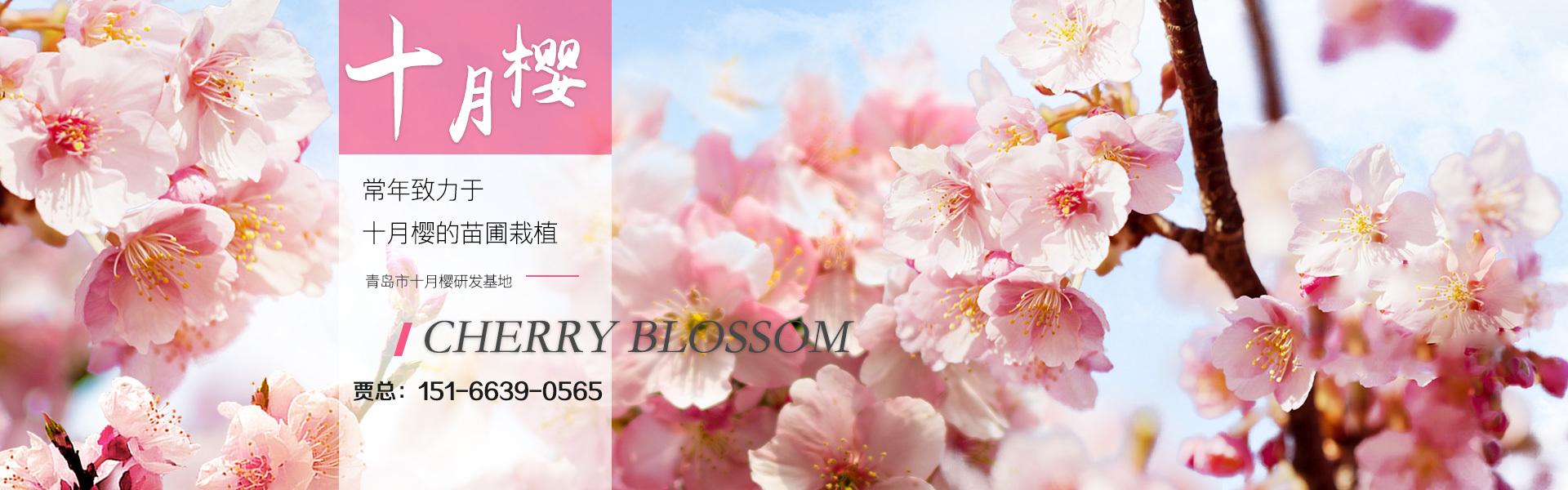 岛市十月樱研发基地精心培育出新品种十月樱,十月樱具有花期特殊、花期长、花色多、耐寒能力强、生长速度快,管理简单等优势。
