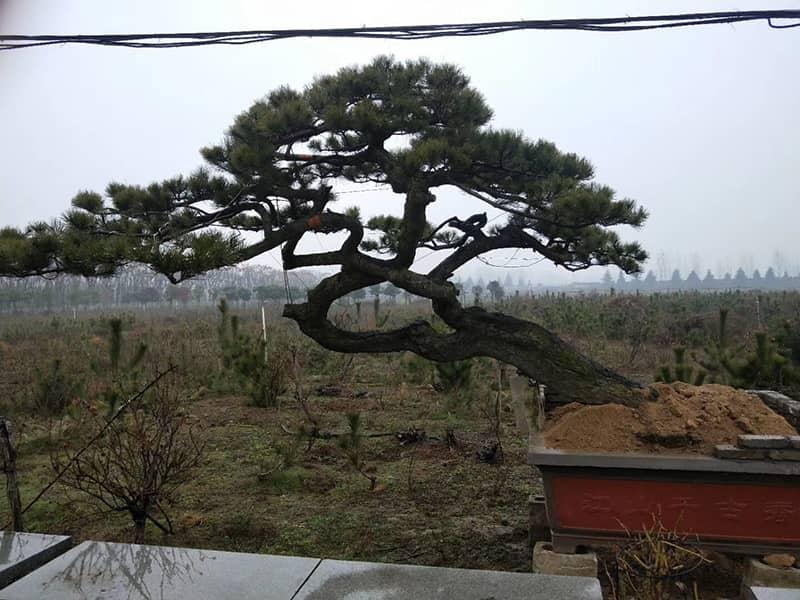 造型黑松幼樹衰弱會給造型松基地造成嚴重的經濟損失