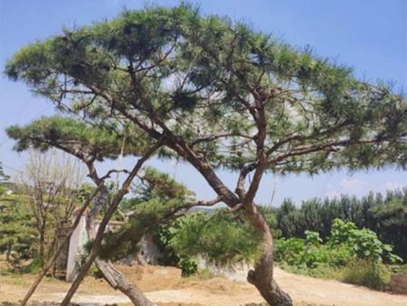 如何修剪造型松有助于苗木采光和透风