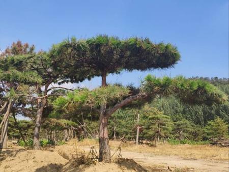 造型松在秋季的移栽方法及yang护管理