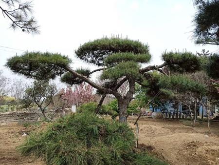 对于浅根性的造型黑松,春季要如何正确施肥