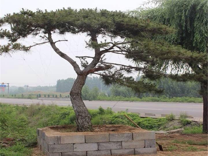 环境因素会影响造型油松的生长