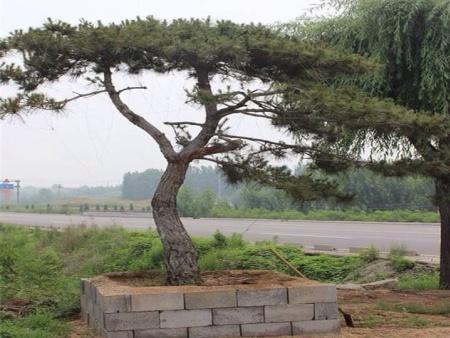 造型黑松种植养护需要注意什么