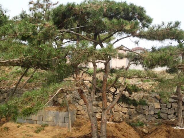 萊蕪景觀松種植者喜愛的究竟是什么呢?