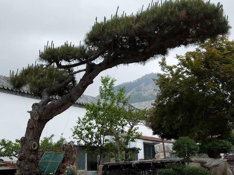 造型松树出苗不好可能是这两元素的问题!
