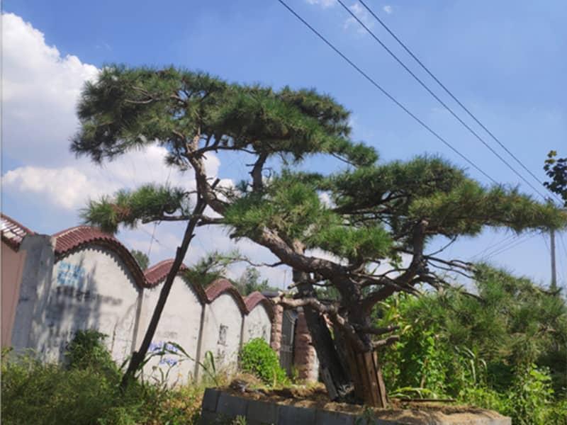 了解造型松基地的修剪程序,給樹木正確整形