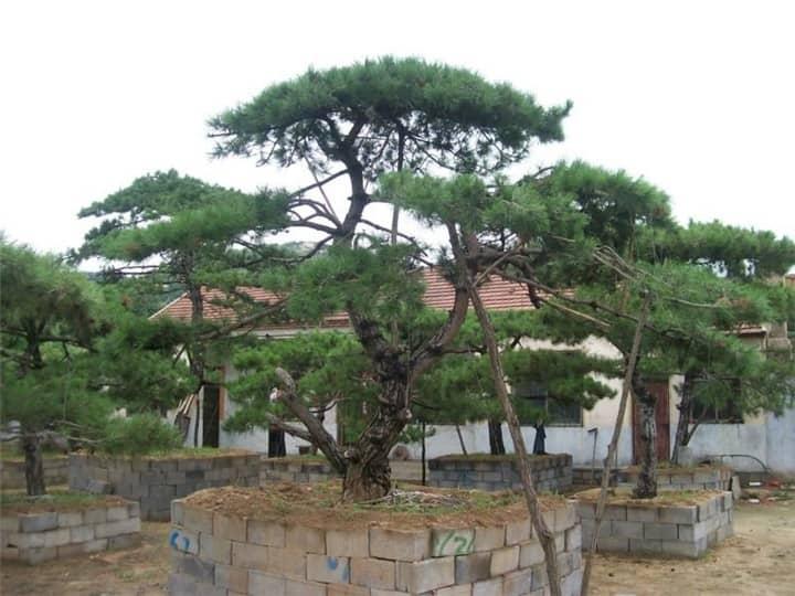 景觀松基地在冬季如何控制苗木的溫度
