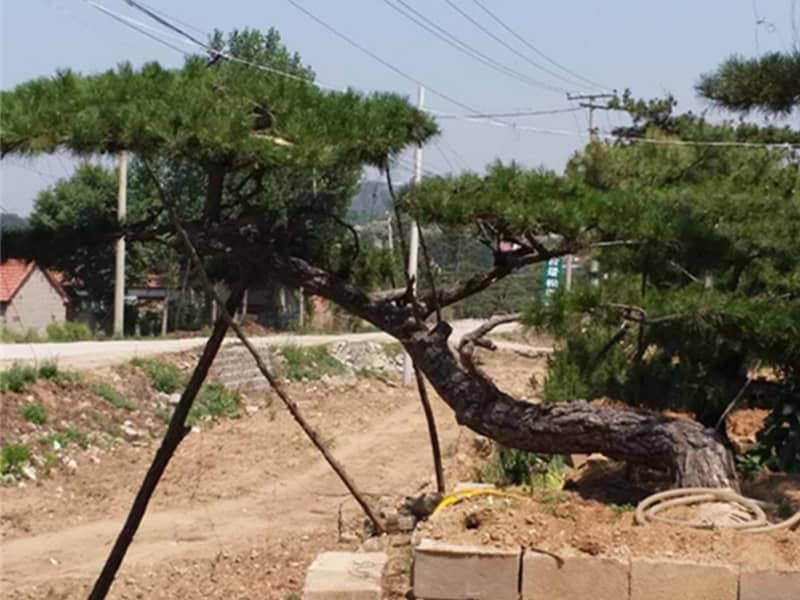 造型松树对水分的要求严格吗?