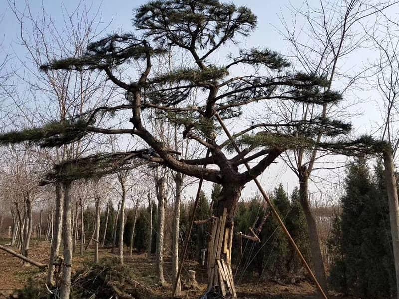 春季種植萊蕪景觀松_溫度施肥是關鍵