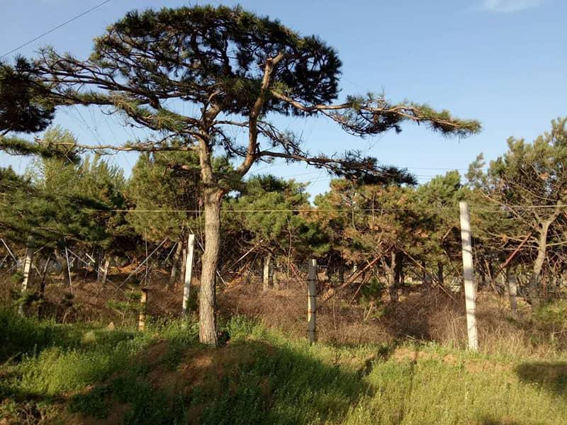 造型松基地通過對肥料的精心分類來培育優良苗木