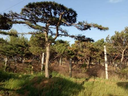 造型松目前在市场上比较受欢迎的树种