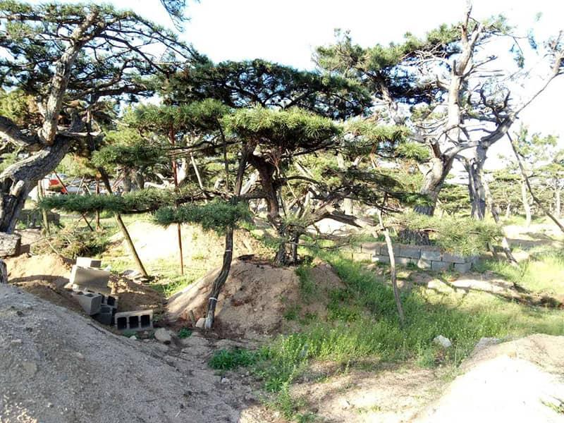 造型松树在养分需求方面有其自身的特点