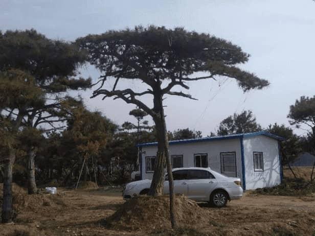 莱芜造型松树不同季节的种植方法!