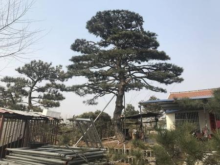 以下是造型黑松基地种植苗木的研究成果