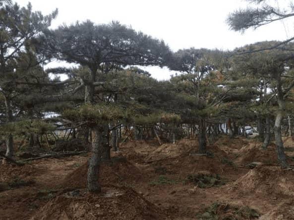 造型松树的叶子有什么好处
