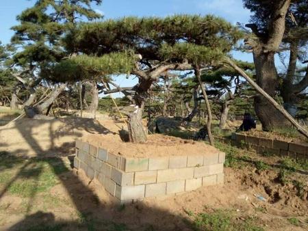 秋季栽种莱芜造型油松需yao掌握的yao点