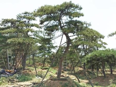 造型油松秋季栽种建议选择育苗移栽的方法