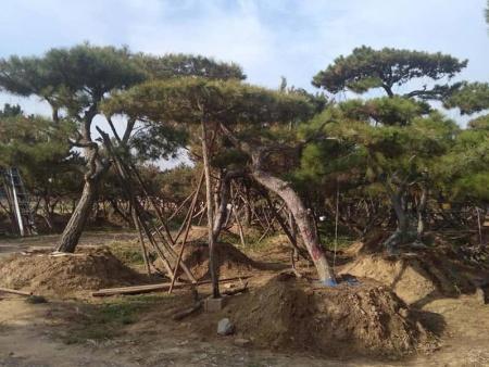 利用造型油松美化环境能带来什么好处?